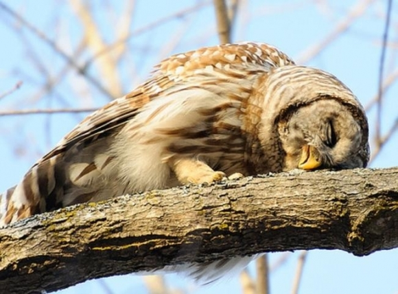 Sleepy owl image